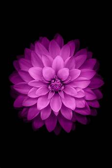 Iphone Wallpaper Black With Flower by Purple Flower With Black Background Nature Iphone