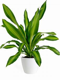 Dracaena Low Light Dracaena Giganta Small Houseplant Chelsea Garden Center