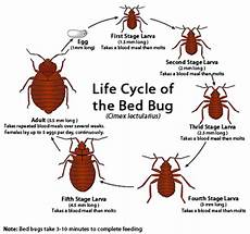 bed bug cycle stages of bed bugs