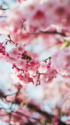 iphone wallpaper hd cherry blossom nx72 cherry blossom tree flower pink nature wallpaper
