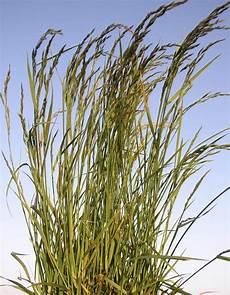 Fescue Hay Fescue Festuca Arundinacea Cover Crops Canada
