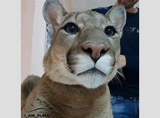 Meet Messi, The Rescue Puma Who Can't Be Released Into The