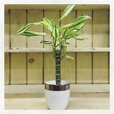 Dracaena Low Light Indoor Plants For All Light Levels Swansons Nursery