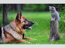Big German Shepherd And Cute Little Cat   HD Animals and