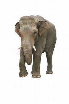 Malvorlage Indischer Elefant Indischer Elefant Stockfoto Bild Profil Grau