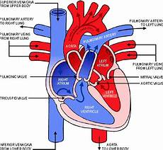 Chart Of Blood Flow Through Heart The Direction Of Blood Flow Through The Heart Ms D
