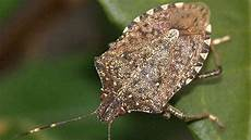 Brown Marmorated Stink Bug Can Wasps Squash The Stink Bug Plague Npr
