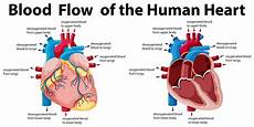 Chart Of Blood Flow Through Heart Blood Flow Of The Human Heart Download Free Vectors