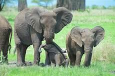 Malvorlage Afrikanischer Elefant Afrikanische Elefanten Upali Ch