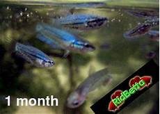 Baby Betta Growth Chart Growth Of Betta Fish Betta Fish Care And Betta Tips