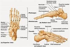 Foot Anatomy Chart Ankle Bones Diagram Ankle Bones Diagram Pictures Ankle