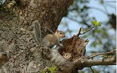 Where Do Squirrels Live Have You Ever Seen A Baby Squirrel