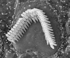 Hair Cells Cochlear Hair Cells I Will Draw You Medheadarts