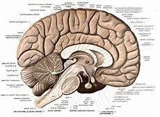 Cerebellum Anatomy Cerebellum Function Anatomy Development Amp Definition