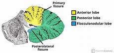 Cerebellum Anatomy The Cerebellum Structure Position Vasculature