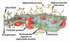 Cholesterol In Cell Membrane Cell Membrane Simple English Wikipedia The Free