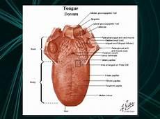 Tongue Anatomy Anatomy Of The Tongue