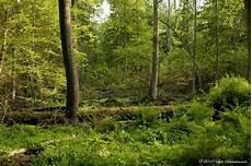 Malvorlagen Urwald Europa Im Letzten Urwald Europas 3 Foto Bild Landschaft Wald