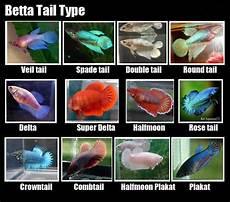 Baby Betta Growth Chart Female Betta Types Baby Betta Fish Betta Fish