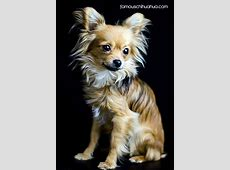 Famous Chihuahua: The World's Cutest Chihuahuas!