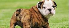 Designer Pitbulls Cost Blue Nose Pitbull 12 Interesting Facts You Should Know
