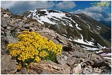 immagini piã di fiori report caccia alle fioriture d alta quota forum natura