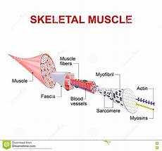 Skeletal Muscle Structure Structure Of Skeletal Muscle Stock Vector Illustration