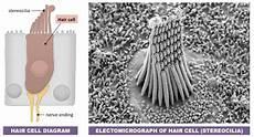 Hair Cells Hearing Bioninja