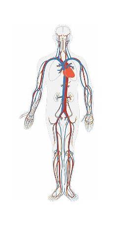 Circulatory System Organs Medical Scribe Course Online Circulatory System