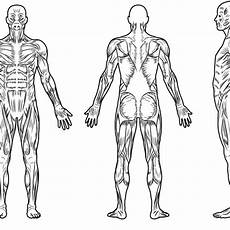 Full Body Muscle Diagram For Professional Charting
