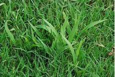 Control Crab Grass The Grass Is Greener Here Comes The Crabgrass