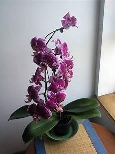 orchidee fiori appassiti come potare un orchidea come potare lavori fai da te