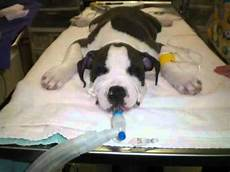 Bully Ear Crop Chart Ear Crops By Dr Jan Crowe Boxer And Pit Bull Youtube