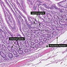 Small Intestine Slide 17 Best Images About Histology Small Intestine On