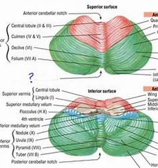 Cerebellum Anatomy 22 Best Cerebellum Images In 2015 Neuroci 234 Ncia Medicina