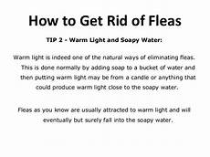 Are Fleas Attracted To Light How To Get Rid Of Fleas