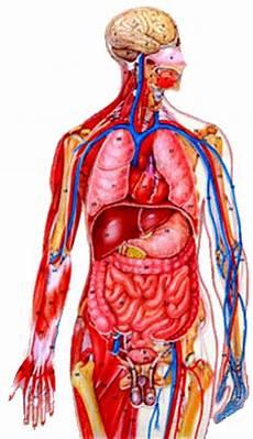 organi interni corpo umano apparato e sistema corpo umano mattia n