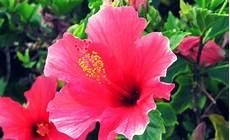 fiore ibisco significato pianta di ibisco scoprine caratteristiche e peculiarit 224