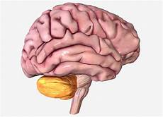 Cerebellum Anatomy Cerebellum Anatomy Function And Disorders
