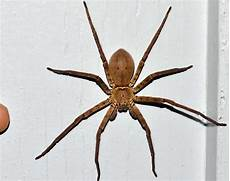 Light Brown Spider Florida Large Brown Spider In North Central Florida Heteropoda