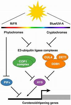 Light Receptors In Plants Frontiers Evolutionary Recycling Of Light Signaling