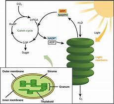 Does The Calvin Cycle Require Light Blog Ap Bio