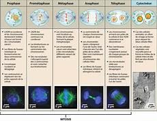 Interphase Chart La Division Cellulaire Ask A Biologist