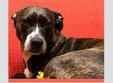 Pitbull Puppy Training Tips: Addressing Aggression