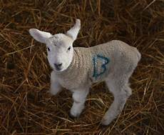 Newborn Lamb The Cute Pictures Of Gloucestershire S First Newborn Lambs
