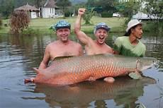 stor fisk stor fisk f 229 ngad i thailand thailand fish thailand