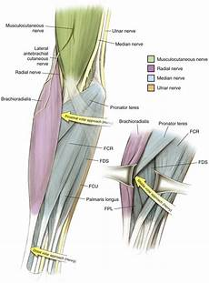 Fcr Tendon Elbow And Forearm Musculoskeletal Key
