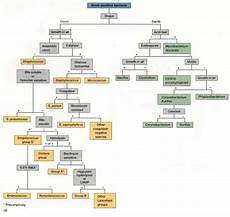 Gram Positive And Gram Negative Bacteria Chart Identification Of Gram Positive Bacteria Microbiology