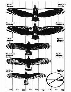 Bird Wingspan Chart Cryptomundo 187 Condor Seen In Nocal