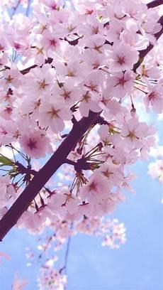 iphone wallpaper hd cherry blossom cherry blossom iphone 6 plus wallpaper 6556 flowers